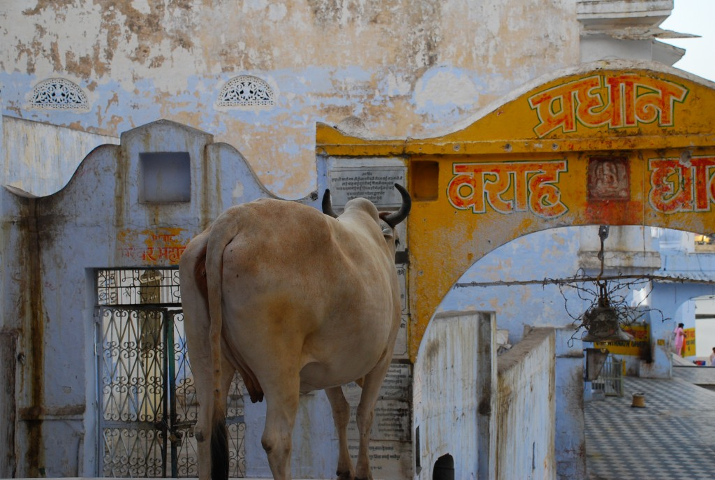 Temple bell, cow, temple, Pushkar