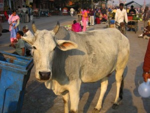 phototgraph of sacred cow in Haridwar, India