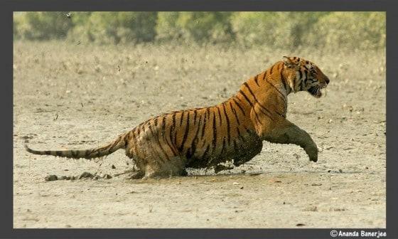 Royal BengalTiger, India Ananda Banerjee