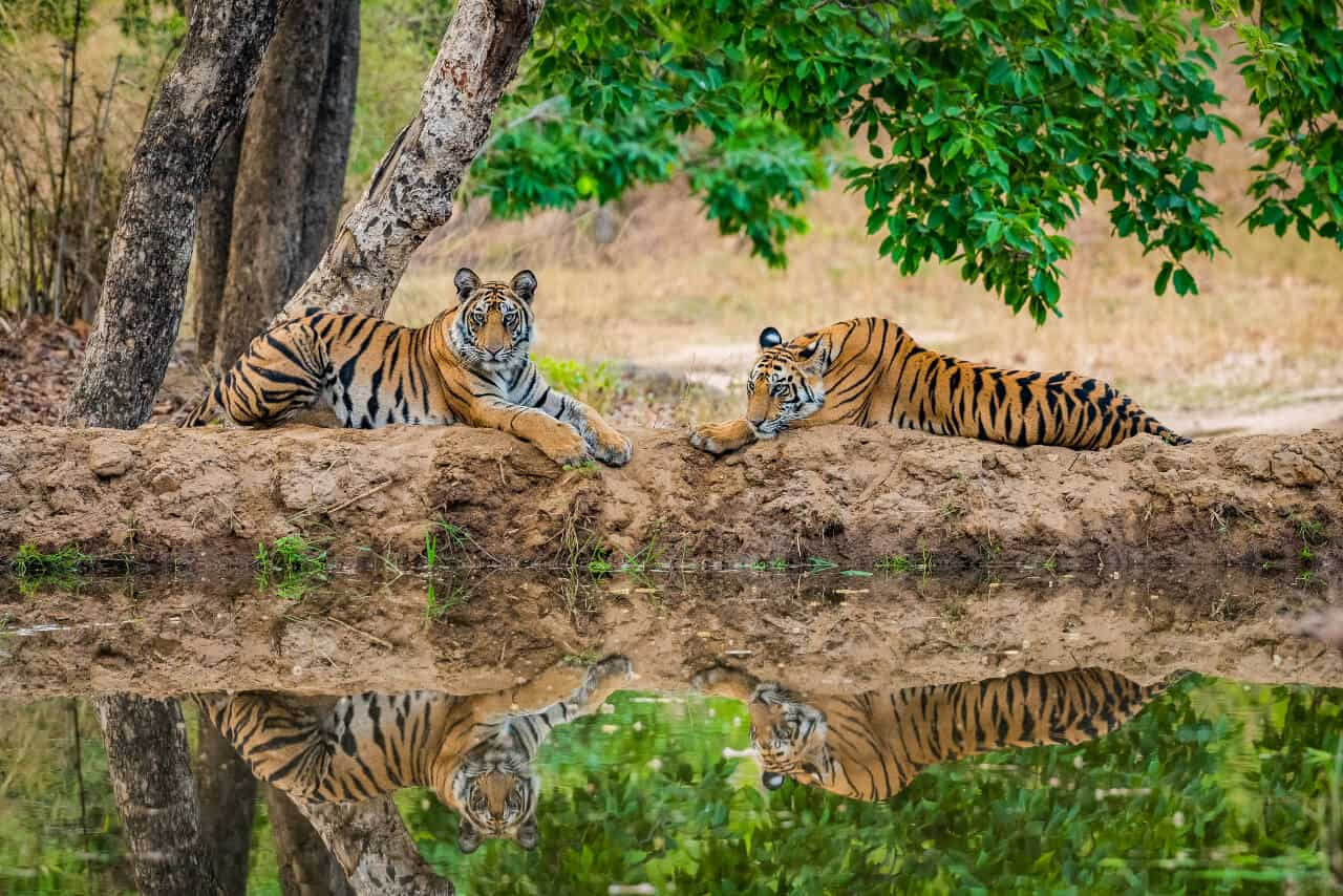 two tigers at a national park in India
