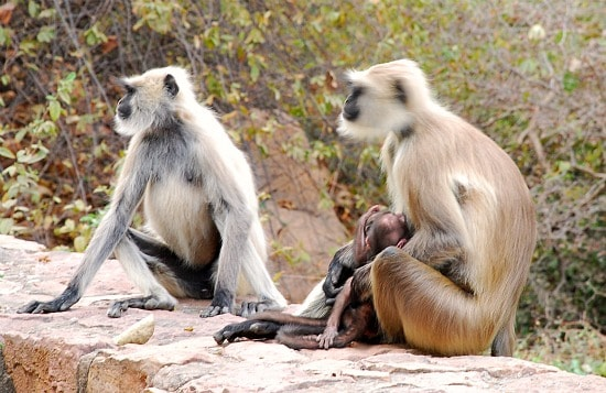 Photograph of monkeys, Ranthambhore national park and tiger reserve, Rajasthan, India