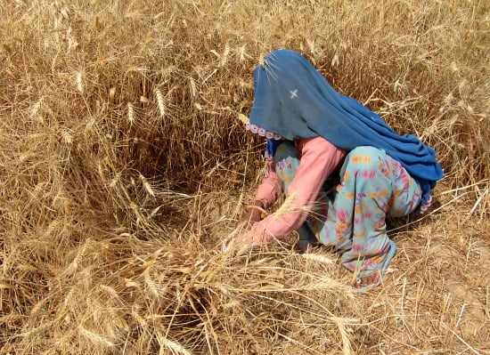 Photograph of woman working in the field, harvesting wheat, near Ranthambhore, Rajasthan, India