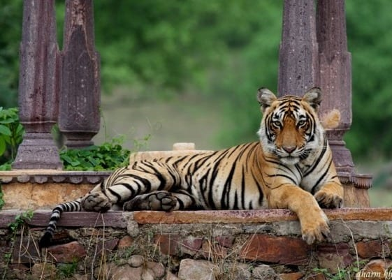 photograph of tiger in Ranthambhore national park by Tiger Watch director Dharmendra Khandal