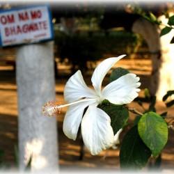 flower at ashram - soften