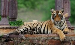 tiger watch-featured