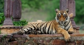 Looking for India's tigers in Ranthambore