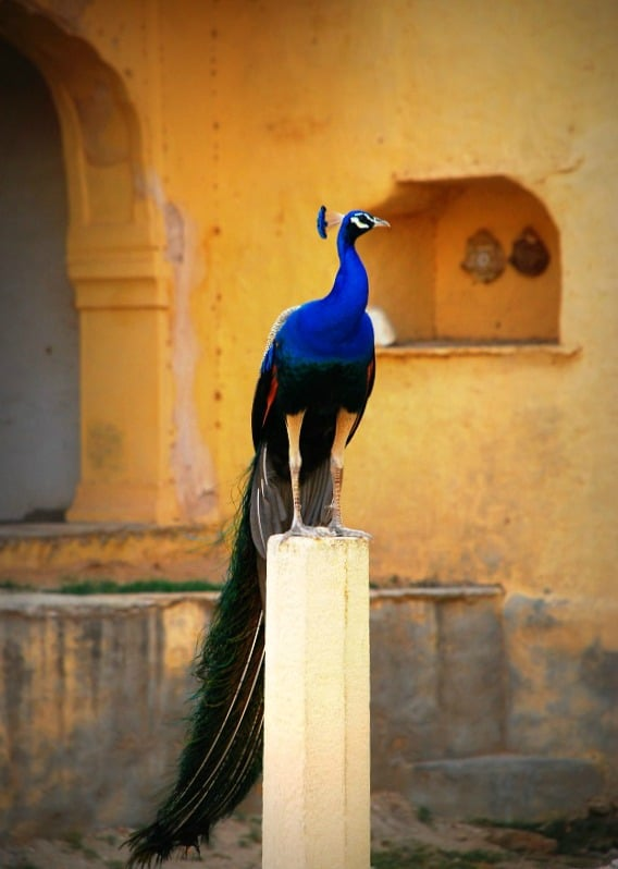 Blue: Peacock, national bird of India, Rajasthan