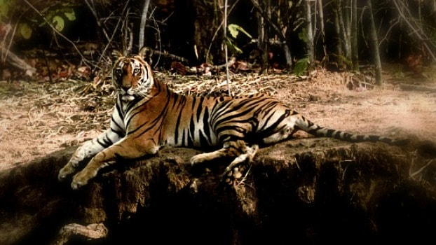 Is tiger tourism helping or hindering?