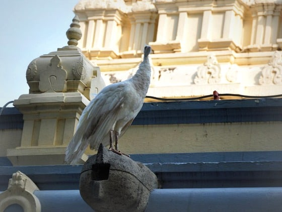 White peacock at Sri Ramana Maharishi ashram, Tiruvannamalai, Tamil Nadu, India.