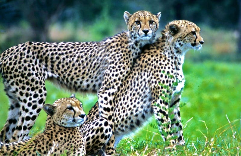 cheetah responsible ecotourism
