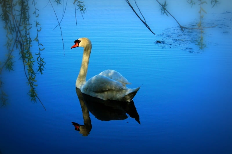 Swan: Cherry trees, High Park, Toronto