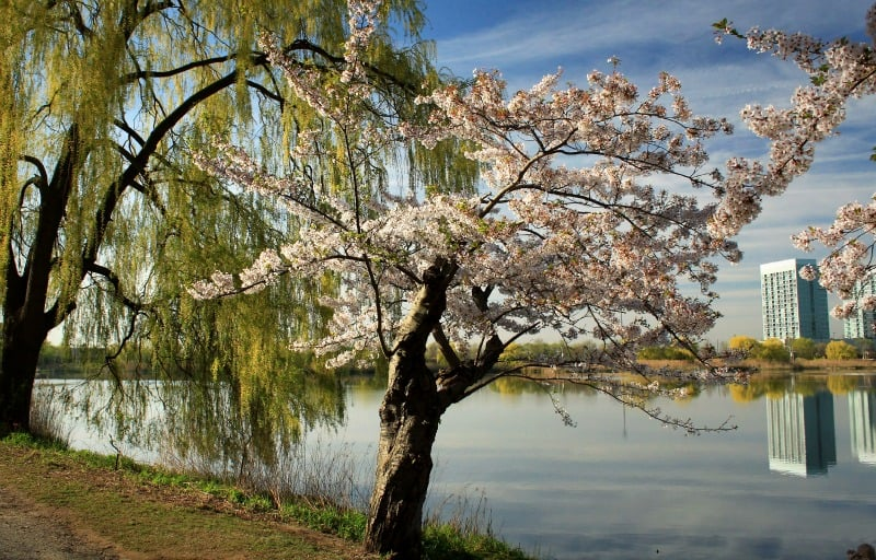 Hyper-local photo essay: Cherry Blossoms in High Park, Toronto