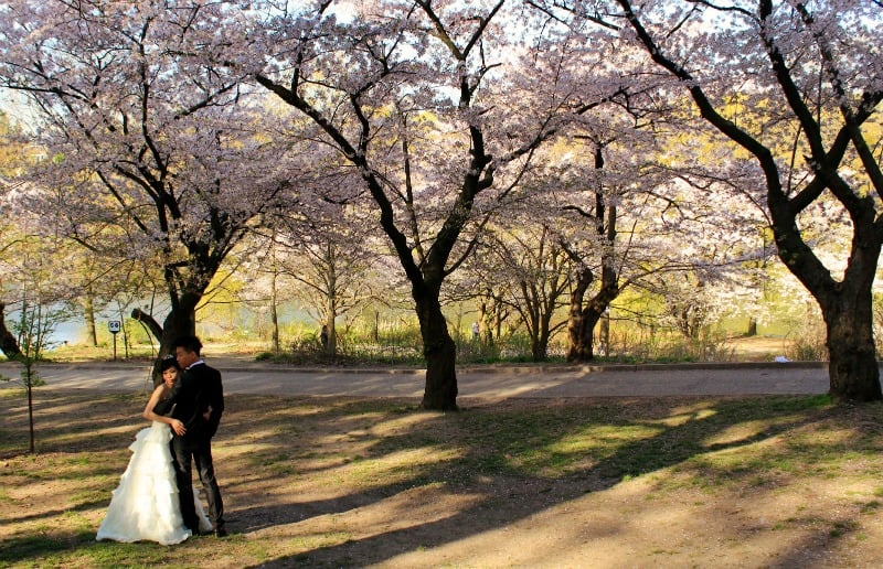 Cherry trees, High Park, Toronto