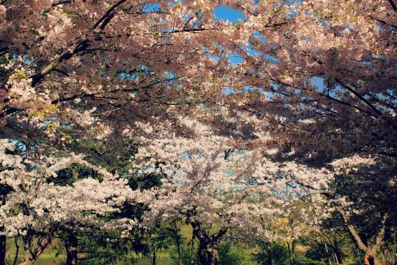 Cherry trees, High Park, Toronto