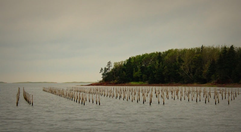 oyster bed PEI