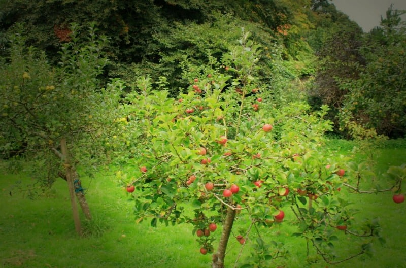 Apple orchard on the Blackwater Castle Estate in Castletownroche, Cork, Ireland