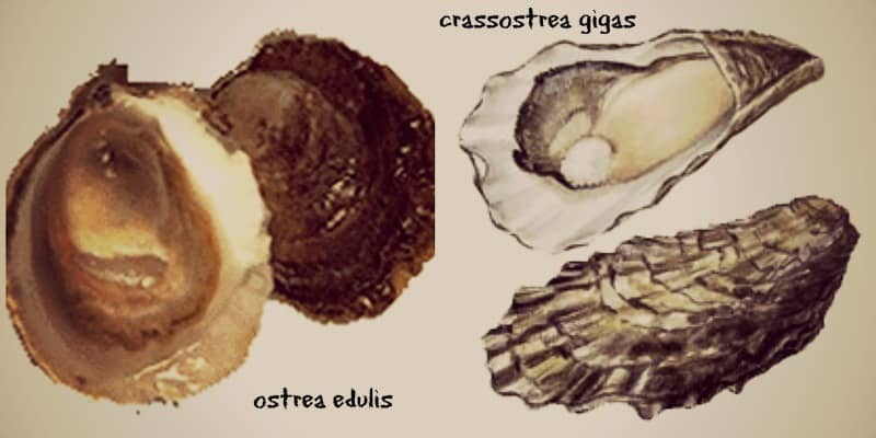 ostrea edulis and gigas oyster