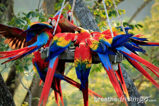 scarlet macaws at The ARA Project, Punta Islita, Costa Rica