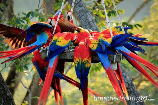 scarlet macaws at The ARA Project, Punta Islita, Costa Rica