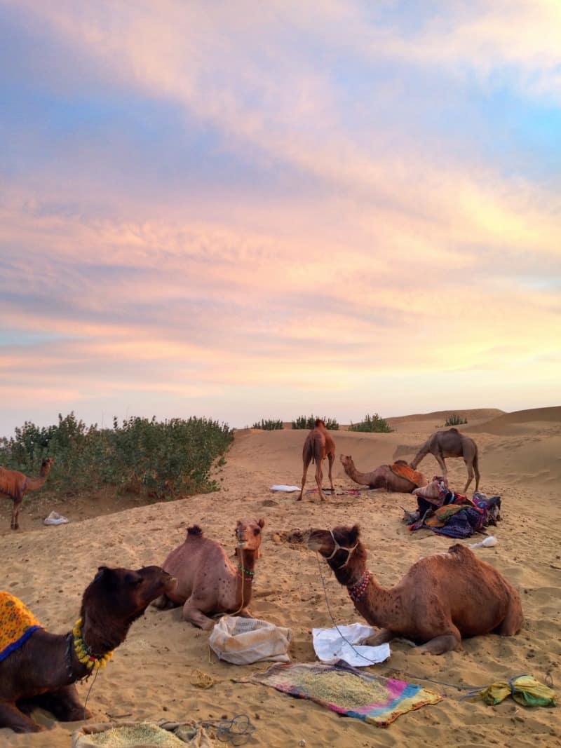 India travel Rajasthan camels desert