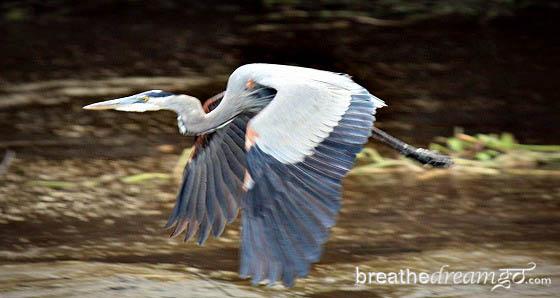 heron, Rio Tempisque River, Costa Rica