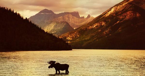 moose, Canada, Rockies