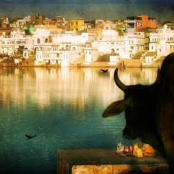 Photo of cow in India by Nick Kenrick.