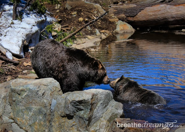 Grouse Mountain, Vancouver, British Columbia, Canada, Explore Canada, wildlife, birds, bears