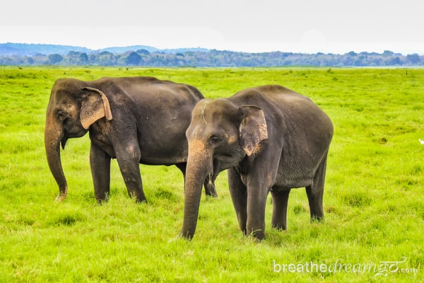 Sri Lanka, TBCAsia, Cinnamon Hotels, Sri Lankan Airlines, elephants, Kaudulla National Park, South Asia