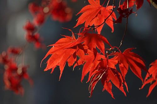 Canada, maple leaf