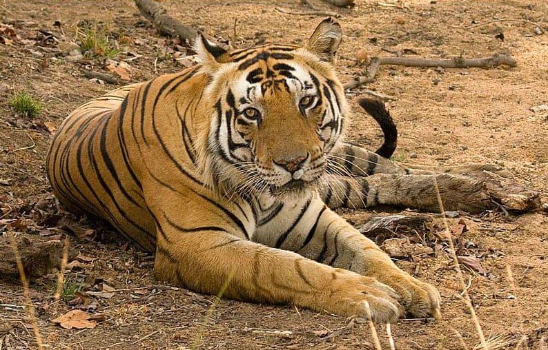 Kumaon, tiger, Jim Corbett, India