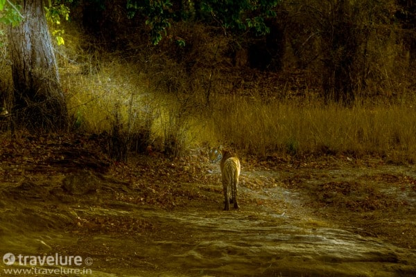 The Jungle Book, India, Madhya Pradesh, Kanha, national park, wildlife, sanctuary, Disney, film, movie, tiger
