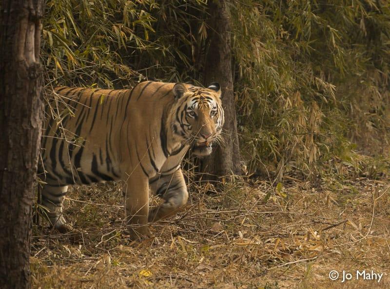 tiger, tigers, India, Madhya Pradesh, safari, Exodus Travels, tour, travel, wildlife, animal, park, tiger reserve, Pench, Bandhavgarh, Kanha, sustainable, responsible