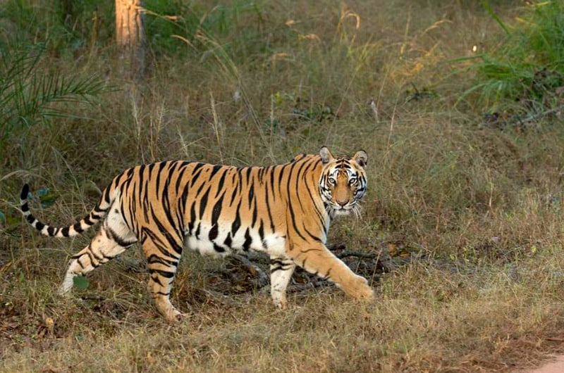 tiger, tigers, India, travel, tour, tourist, park, reserve, Pugdundee, safari, safaris, Kanha, Bandhavgarh, Pench, Madhya Pradesh
