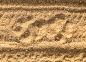 tiger, tigers, India, travel, tour, tourist, park, reserve, Pugdundee, safari, safaris, Kanha, Bandhavgarh, Pench, Madhya Pradesh, pug marks