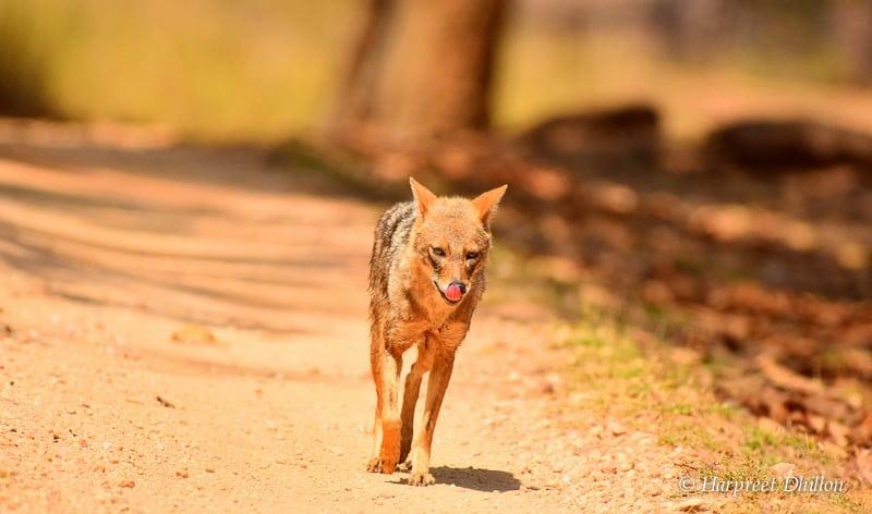 tiger reserves in India, Kanha National Park