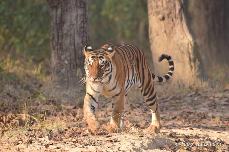 bengal tiger essay