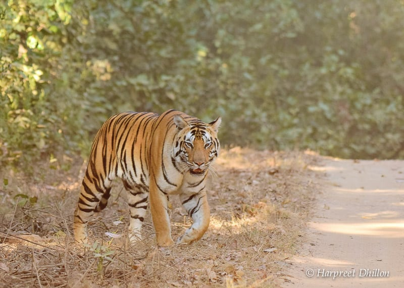 tiger reserves in India, Kanha National Park