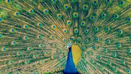 Breathedreamgo, peacock, India, travel, bird, responsible, sustainable, tour, trip, blog, blogging