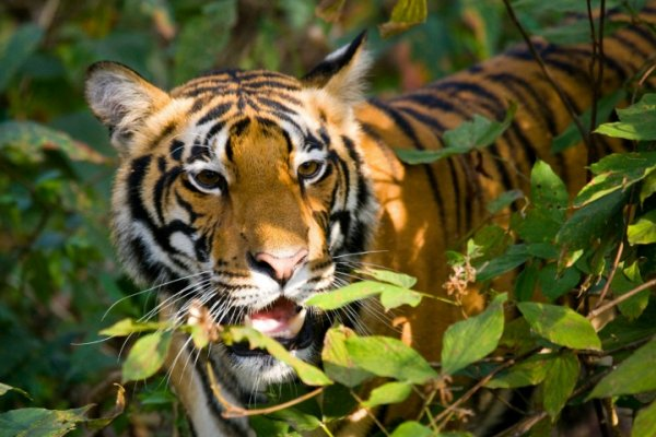 Tiger safari in National Parks in India