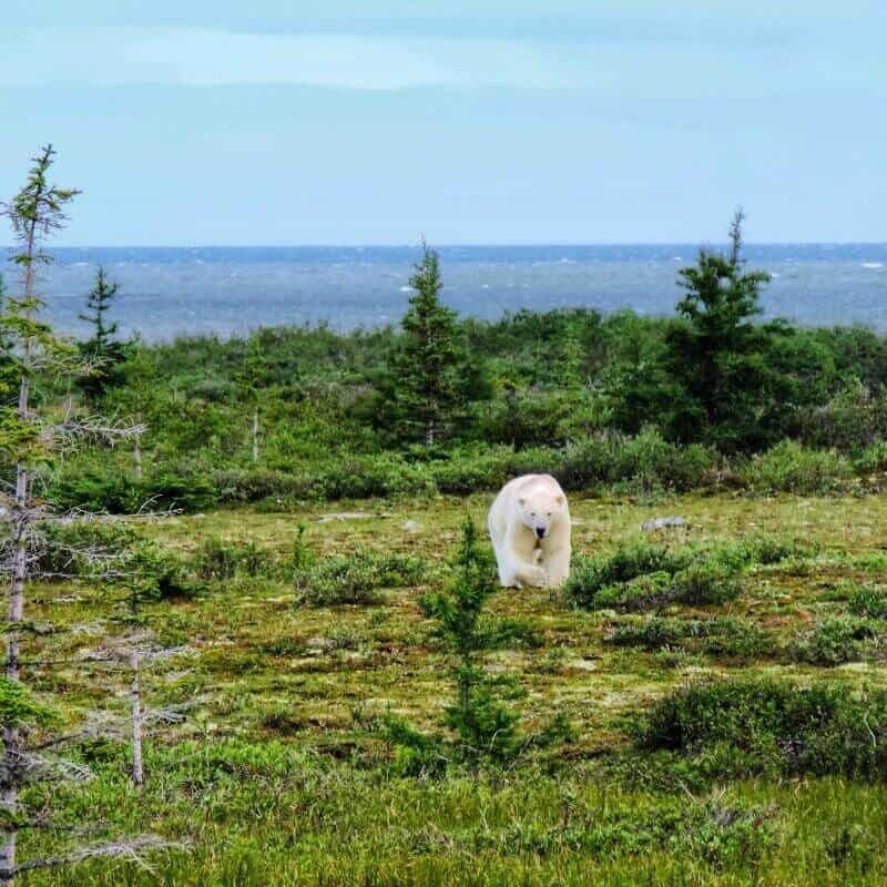 wildlife Canada, polar bears Churchill