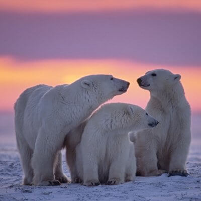 Wildlife Canada series: Polar Bears in Churchill