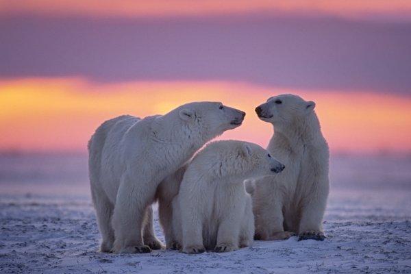 wildlife Canada, polar bears Churchill