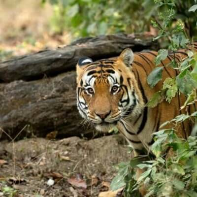 Guide to Kanha National Park & Tiger Reserve