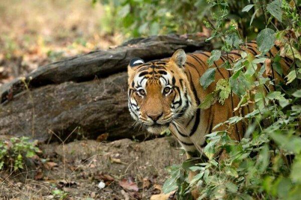 Kanha National Park, Khana hotels, national parks in mp, India, tiger, Madhya Pradesh