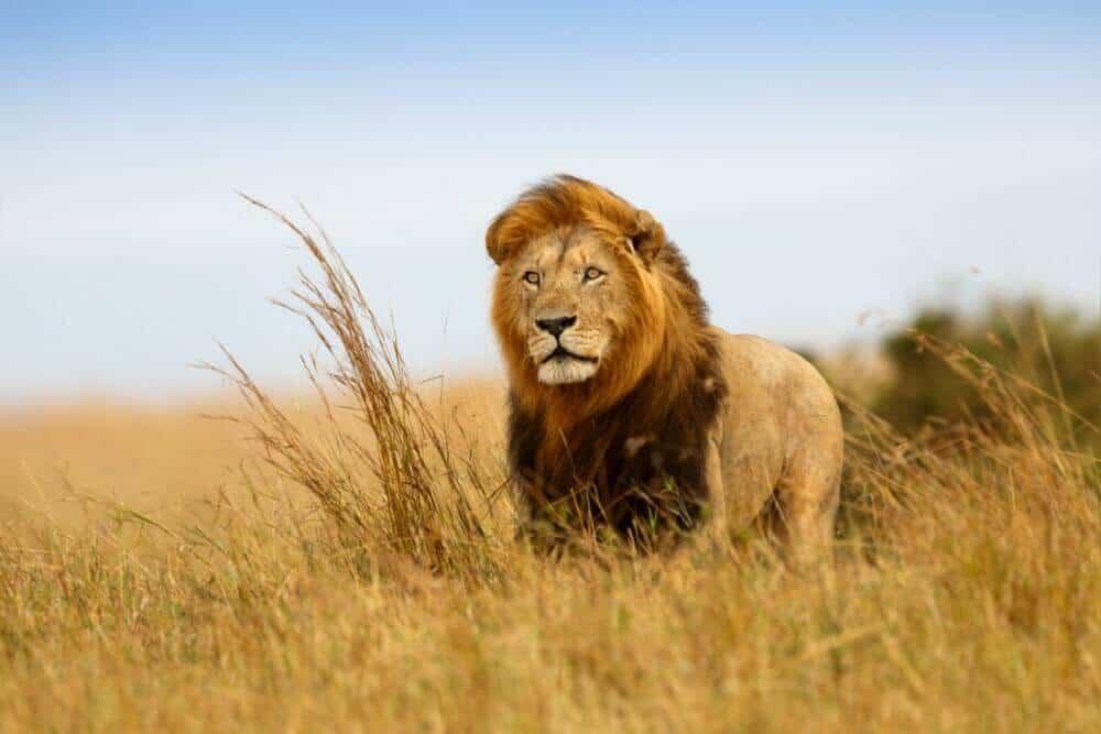 African wildlife safari, African safari, African safari vacation, African safari tours, animal, wildlife, lion