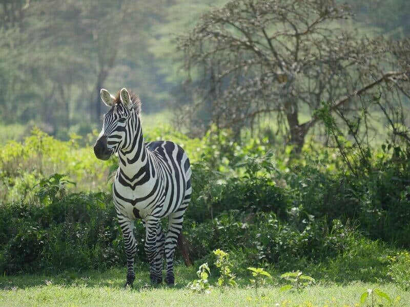African wildlife safari, African safari, African safari vacation, African safari tours, animal, wildlife, zebra