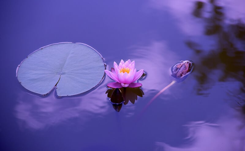An image of a lotus flower in the water for International Yoga Day #YogaDay #Yoga #India