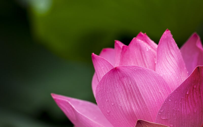 A beautiful pink lotus flower for International Yoga Day. #YogaDay #India #IncredibleIndia