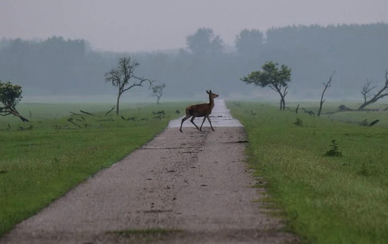 Deer at ecotourism site Oostvaardersplassen, a wetland nature reserve in the Netherlands #Netherlands #EcoTourism